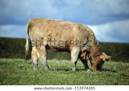 Photo of a cow in a field