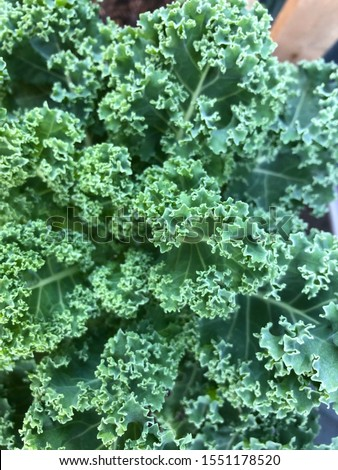Photo of a curly kale or borecole , a green leafy green flowering plant  in an urban home green garden viewed from the top.