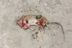 Photo of a dead mouse on Street . Dead rat (Mouse),Sluggish and dead rats pierced with ants eat on the road (Food chain). Dead rat on the asphalt in the neighborhood of people's housing .