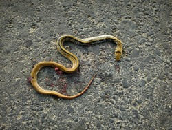 Photo of a dead snake on the asphalt surface.