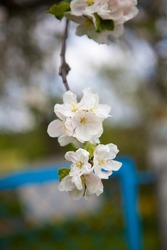Photo of a flowering  cherry tree, pear, apple tree. Nature, village, country landscape, a branch of flowers in your hand.Spring picture for holiday cards,2D presentations,books about plants,booklets.
