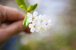 Photo of a flowering tree, cherry, pear, apple tree. Nature, village, country landscape, a branch of flowers in your hand.Spring picture for holiday cards,2D presentations,books about plants,booklets.