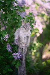 Photo of a fluffy gray cat near a lilac bush.