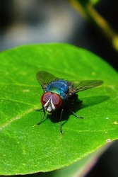 Photo of a fly perching on a leaf using Prosummer camera macro mode