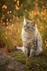 Photo of a gray fluffy cat at sunset in the grass.