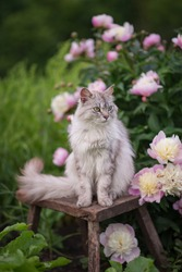 Photo of a gray fluffy cat near a bush of pink peonies.