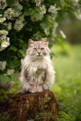 Photo of a gray fluffy cat near a flowering bush.