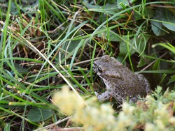 Photo of a gray-green frog in the grass close-up. Copy space for text.