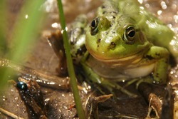 Photo of a green frog close-up. Huge eyes look directly at the viewer. The frog's face is visible in the smallest details. Looks closely at you