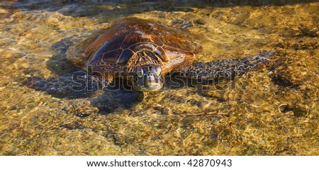photo of a green sea turtle grasping for air