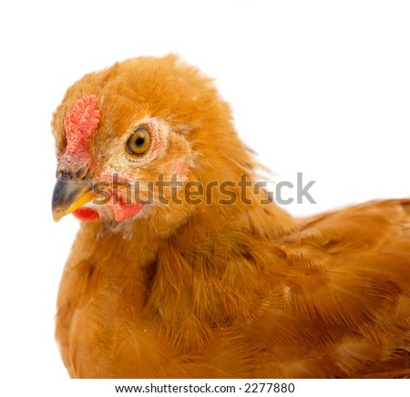 photo of a hen  a over white background