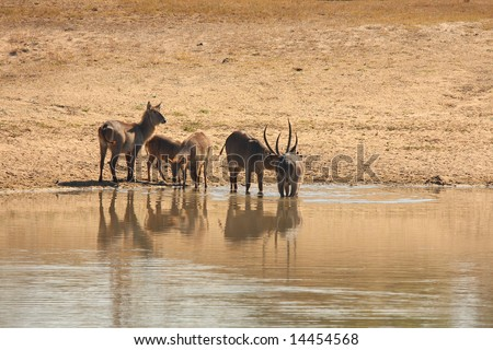 Photo of a herd of Waterbuck taken in Sabi Sands Reserve in South Africa