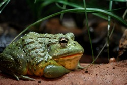 Photo of a large green textured bullfrog at the Franklin Park Zoo, Boston, Massachusetts.