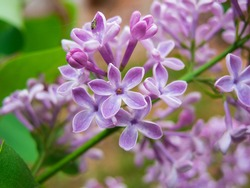 Photo of a lilac branch with a flower of five petals. Close up syringa branch