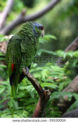 photo of a lilac-crowned amazon