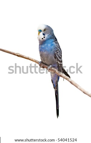 photo of a little budgie parrot sitting on a tree branch