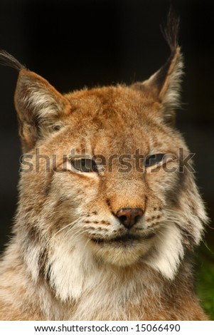 Photo of a Lynx