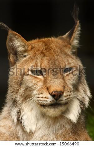 Photo of a Lynx