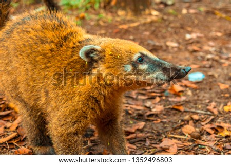 Photo of a mammal called coati. Photograph taken inside the Iguazú Falls National Park, Misiones, Argentina. #1352496803
