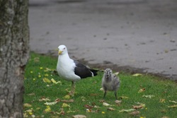 Photo of a mother and baby seagull on the grass