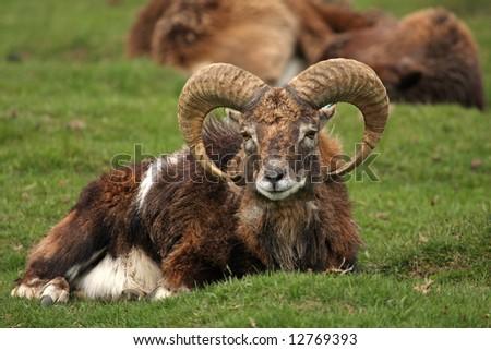 Photo of a MOUFLON  - wild sheep