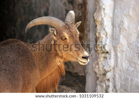 Photo of a mountain goat against a stone wall,outdoors #1031109532