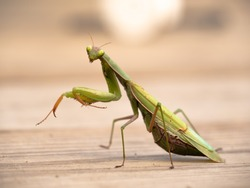 Photo of a Preying mantis