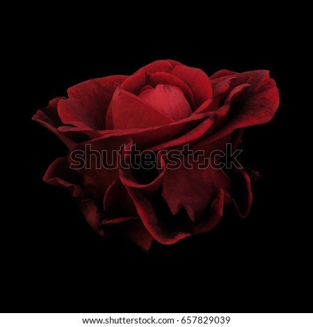Stock Photo Photo of a Red Rose on a Black Background