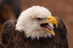 Photo of a screaming eagle taken at the World Bird Sanctuary in Missouri.