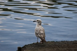 Photo of a seagull by the water