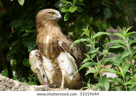 photo of a Short-toed Eagle,Circaetus gallicus