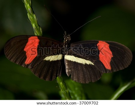 Photo of a Small Postman Butterfly (Heliconious erato). Of the Nymphalidae family, this butterfly is common to Mexico/South America.