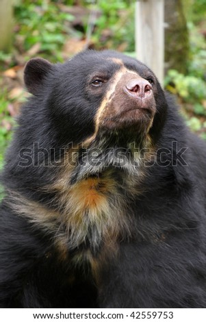 photo of a spectacled bear