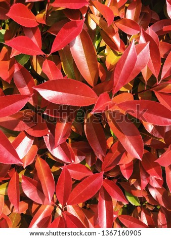 Photo of a spring bush with burgundy leaves in Italy #1367160905