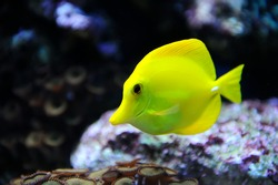 Photo of a tropical yellow tang on a coral reef