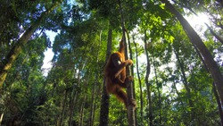Photo of a wild orangutan in Sumatra Jungle, in Bukit Lawang. Aduld free Orangutan climbing a tree.