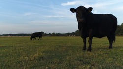 Photo of Aberdeen Angus cattle during early evening beautiful summer evening