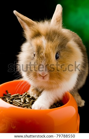 photo of adorable dwarf rabbit with lion's head with his food bowl