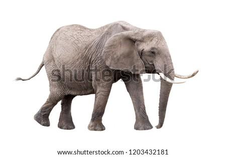 Photo of adult African Elephant facing side walking. Isolated on white background.  Stock photo ©