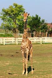 photo of african giraffe in the zoo