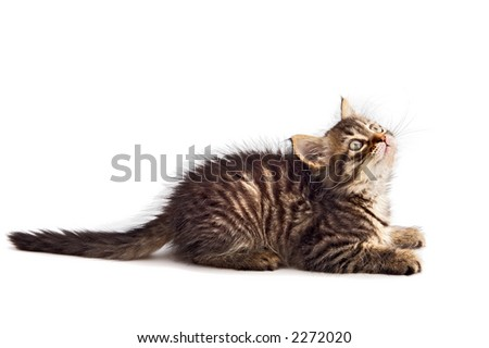 photo of an adorable cat a over white background