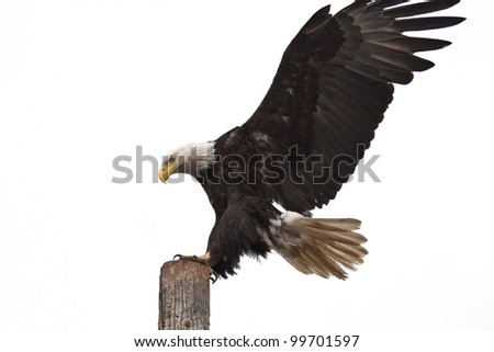 Photo of an American Bald Eagle landing on a post.