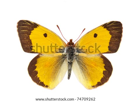 Photo of an beautifully orange Clouded Yellow butterfly (Colias crocea) isolated on a white background