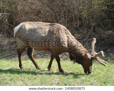 Photo of an Elk in Canada