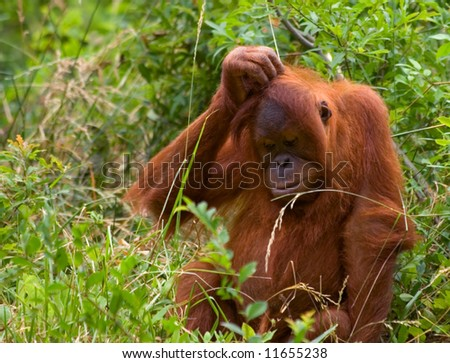 Photo of an Orangutan looking bewildered and confused