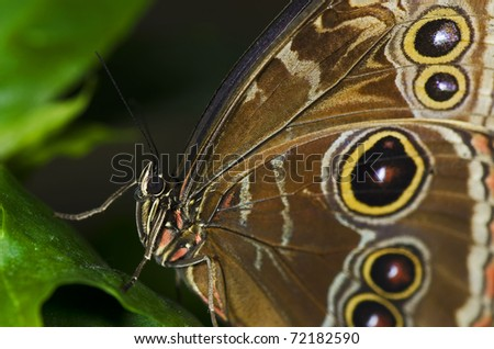Photo of an Owl Butterfly, of the Nympalidae family, native of South America and Mexico.