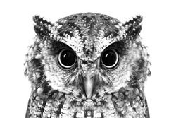 Photo of an Owl in macro photography, high resolution photo of owl cub. The bureaucratic owl, also called field-buckthorn, field owl, owl-owl, buck-owl, owl-owl, guede, urucura, urucurian and urucuriá