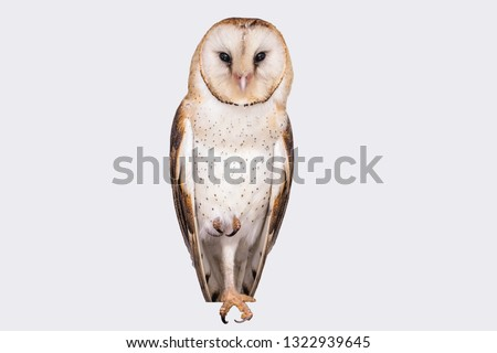 Photo of an owl in macro photography. Owl of the Towers (Tyto furcata or Tyto alba), owl on white background isolated. Young owl in high resolution photograph.