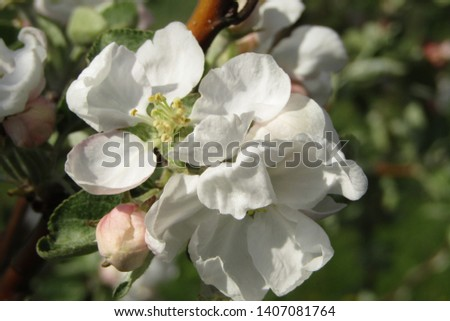 photo of Apple blossoms. I think it is one of the best photos