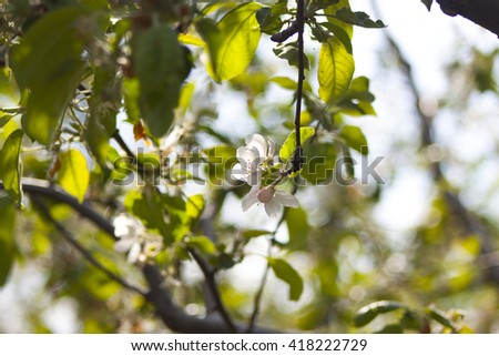 Photo of apple tree flower blossom on blurred fresh green leaves photo of apple tree flower blossom on blurred fresh green leaves background spring has come mightylinksfo